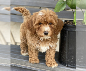 Goldendoodle Puppy for Sale in SAN DIEGO, California USA