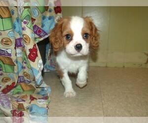 Cavalier King Charles Spaniel Puppy for sale in PATERSON, NJ, USA