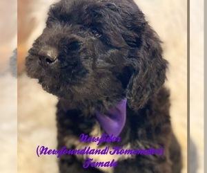 Komondor-Newfoundland Mix Puppy for Sale in DALE, Indiana USA