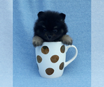 Teacup black with tan pomeranian puppy male