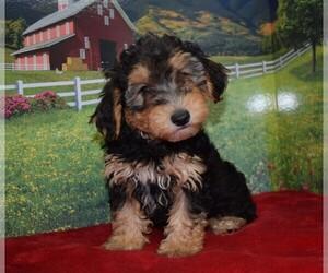 YorkiePoo Dog for Adoption in BARNESVILLE, Kansas USA