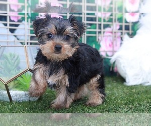 Yorkshire Terrier Puppy for sale in MARIETTA, GA, USA