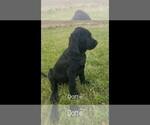Small #10 Labrador Retriever-Majestic Tree Hound Mix