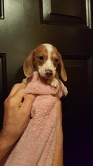 Dachshund Puppy For Sale in RIDGEFIELD, WA
