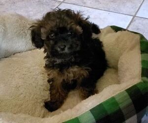 Poodle (Toy) Dog for Adoption in DUDLEY, Massachusetts USA