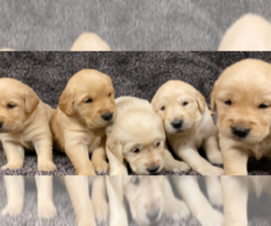 Golden Retriever Puppy for sale in PAYETTE, ID, USA