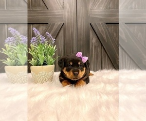 Rottweiler Puppy for Sale in SHREVE, Ohio USA
