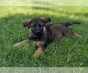 German Shepherd Dog Puppy for Sale in AUBURN, Indiana USA