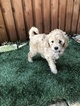 Goldendoodle-Poodle (Miniature) Mix Puppy For Sale in FRISCO, TX, USA