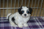 Mal-Shi Puppy For Sale in TUCSON, AZ