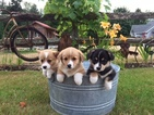 Pembroke Welsh Corgi Puppy For Sale in MOUNT VERNON, WA,