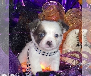 Bullhuahua-Chihuahua Mix Puppy for sale in RAWSONVILLE, MI, USA