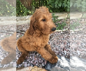 Goldendoodle Puppy for sale in CO SPGS, CO, USA