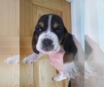 Puppy 9 Basset Hound