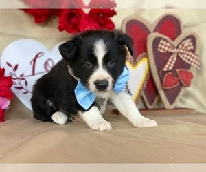 Border Sheepdog Puppy for sale in LANCASTER, PA, USA