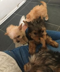 Yorkshire Terrier Puppy For Sale in DALLAS, TX