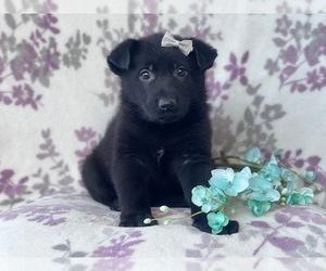 German Shepherd Dog Dog for Adoption in LAKELAND, Florida USA