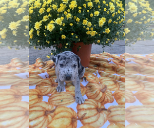 Great Dane Puppy for sale in GLENWOOD, IA, USA