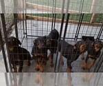 Small #64 Rottweiler