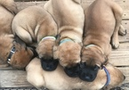 Mastiff Puppy For Sale in MIDDLETOWN, NY, USA