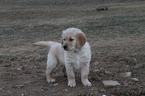 Golden Retriever Puppy For Sale in REBERSBURG, Pennsylvania,
