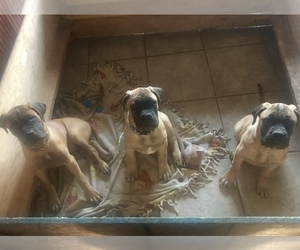 Bullmastiff Puppy for Sale in CLIFTON, Colorado USA