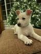Puppy 7 German Shepherd Dog