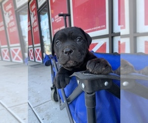 Cane Corso Puppy for sale in RIVERSIDE, CA, USA