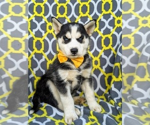 Siberian Husky Puppy for sale in QUARRYVILLE, PA, USA