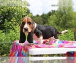 Small Photo #5 Basset Hound Puppy For Sale in UNION CITY, TN, USA