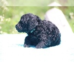 Small #37 Poodle (Standard)