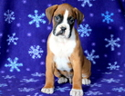 Boxer Puppy For Sale in MOUNT JOY, PA,