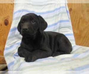 Labrador Retriever Puppy for sale in SHILOH, OH, USA