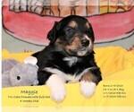 Puppy 6 English Shepherd