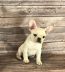 French Bulldog Puppy For Sale in MADISONVILLE, LA, USA