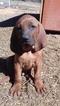 Redbone Coonhound Puppy For Sale in SMITHVILLE, OK