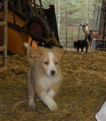 English Shepherd Puppy For Sale in BAKERSVILLE, NC