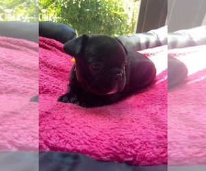 French Bulldog Puppy for sale in VANCOUVER, WA, USA