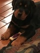 Rottweiler Puppy For Sale in HURRICANE, WV