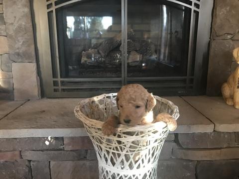 Goldendoodle-Poodle (Standard) Mix puppy