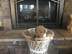 Goldendoodle-Poodle (Standard) Mix Puppy For Sale in HUNTSVILLE, AL, USA