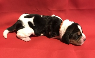Basset Hound Puppy For Sale in LEXINGTON, KY, USA