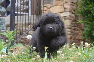 Newfoundland Puppy For Sale in ASHVILLE, AL, USA