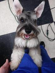 Schnauzer (Miniature) Puppy For Sale in NEW KENSINGTON, PA, USA