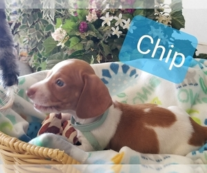 Dachshund Puppy for sale in GERVAIS, OR, USA