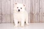 American Eskimo Dog Puppy For Sale in MOUNT VERNON, OH, USA