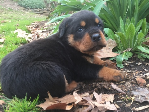 View Ad: Rottweiler Puppy for Sale, Spain