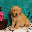 Golden Retriever Puppy For Sale in GAP, PA