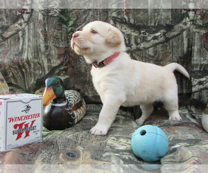 Labrador Retriever Puppy for Sale in LULA, Georgia USA