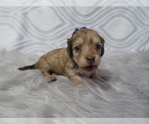 Dachshund Puppy for Sale in HAWESVILLE, Kentucky USA